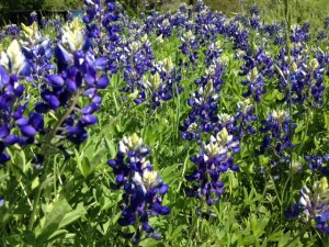 Bluebonnets_close